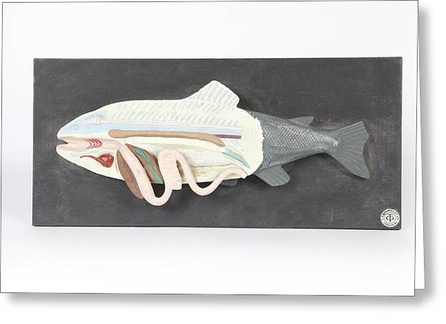 Healthy Body Greeting Cards - Fish anatomy, historical model Greeting Card by Science Photo Library
