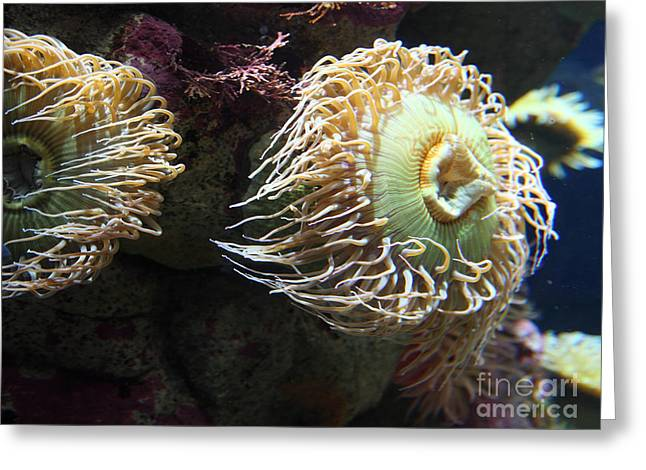 Aquarium Fish Greeting Cards - Fish Eating Anemone 5D24900 Greeting Card by Wingsdomain Art and Photography