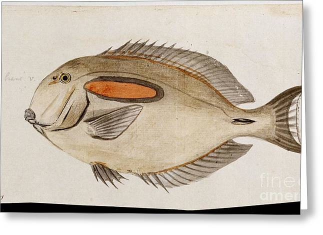 1770s Greeting Cards - Fish From Cooks Third Voyage, 1770s Greeting Card by Natural History Museum, London