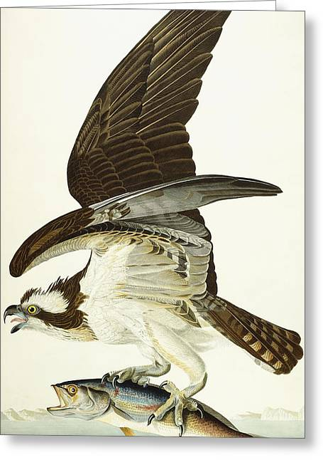 Hawk Bird Greeting Cards - Fish Hawk Greeting Card by John James Audubon