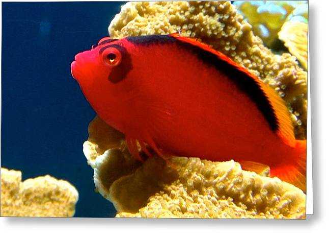 Fish Painted Red Greeting Card by Danielle  Broussard
