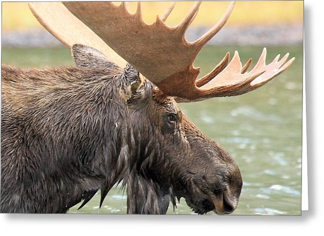 Moose In Water Greeting Cards - Fishercap Lake Moose Greeting Card by Adam Jewell
