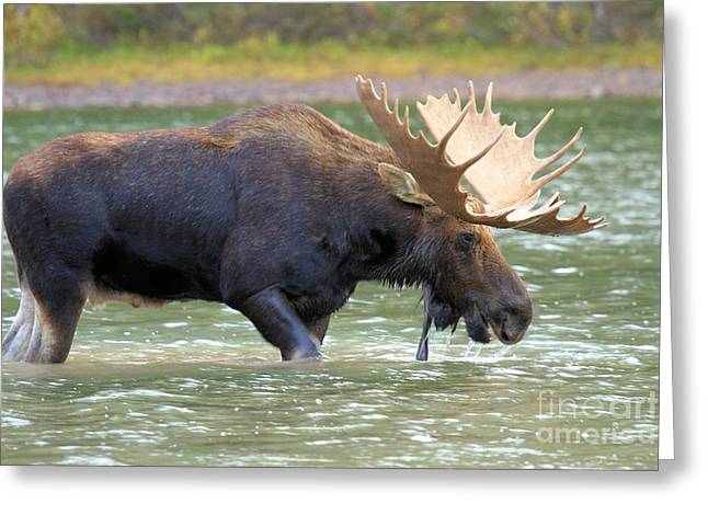 Moose In Water Greeting Cards - Fishercap Lunch Greeting Card by Adam Jewell
