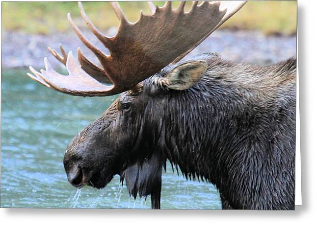 Moose In Water Greeting Cards - Fishercap Moose Greeting Card by Adam Jewell