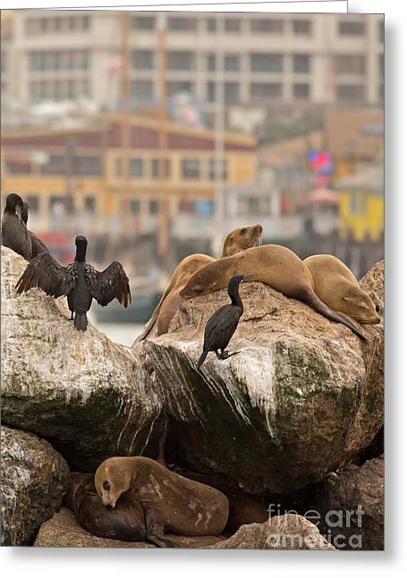 California Sea Lions Greeting Cards - Fishermans Wharf in Monterey Bay California Greeting Card by Natural Focal Point Photography