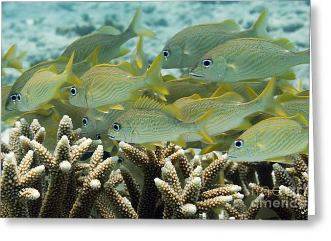 Grunts Greeting Cards - Fishes underwater. VD14BON0581 Greeting Card by Vanessa Devolder