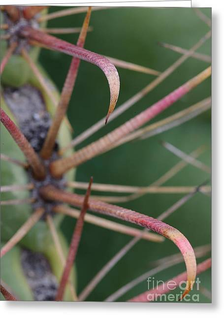 Fishhook Greeting Cards - Fishhook Barrel Cactus Spines Greeting Card by John Shaw