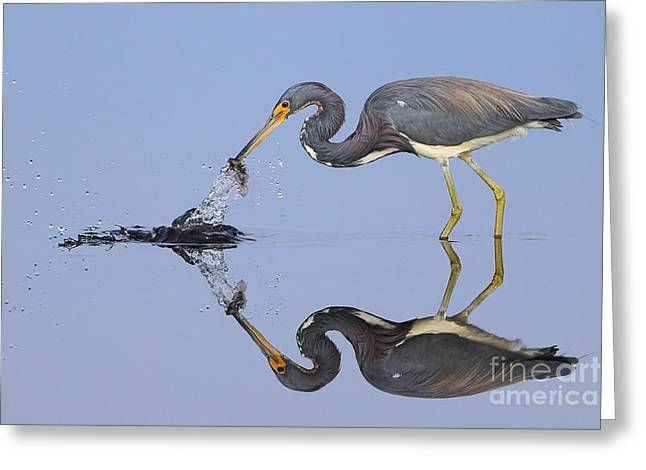 Tri-colored Heron Greeting Cards - Fishing reflection  Greeting Card by Richard Mann