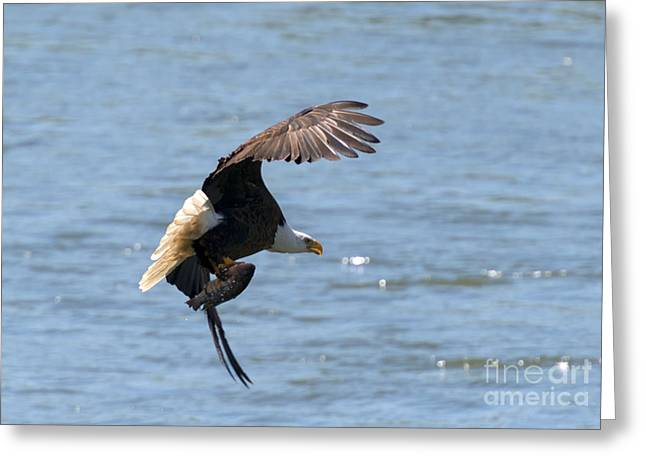 Eagle Greeting Cards - Fishing with Talons Greeting Card by Mike  Dawson