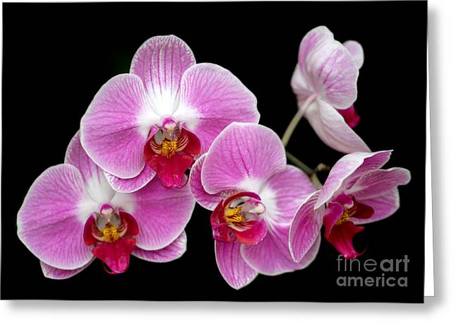Florida Flowers Greeting Cards - Five Beautiful Pink Orchids Greeting Card by Sabrina L Ryan