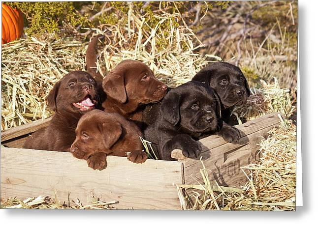 Five Labrador Retriever Puppies Greeting Card by Zandria Muench Beraldo