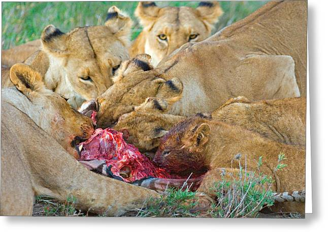 Zebra Eating Greeting Cards - Five Lions Eating A Dead Zebra Greeting Card by Panoramic Images