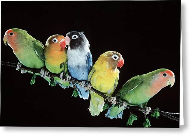Five Lovebirds Greeting Card by Jean-Michel Labat