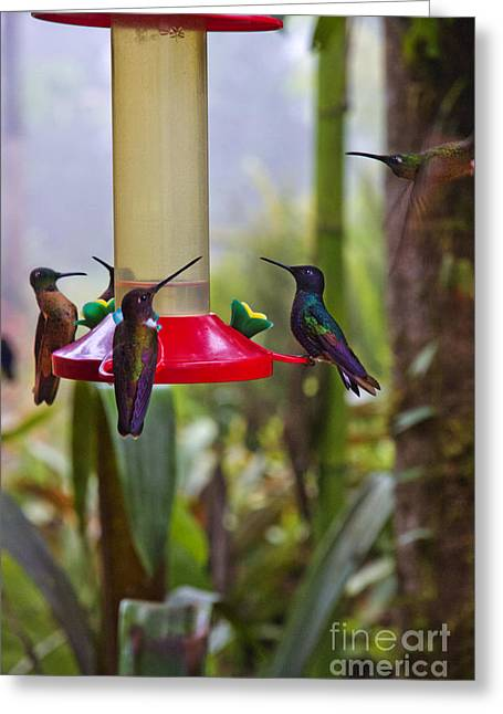 Hovering Greeting Cards - Five More Mindo Hummingbirds Greeting Card by Al Bourassa