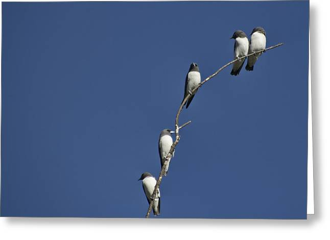 Swallow Photographs Greeting Cards - Five of a Kind Greeting Card by Douglas Barnard
