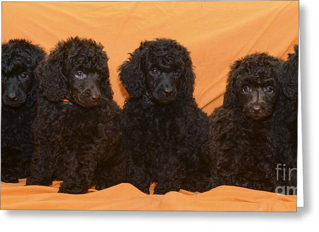 Amirp Greeting Cards - Five poodle puppies  Greeting Card by Amir Paz