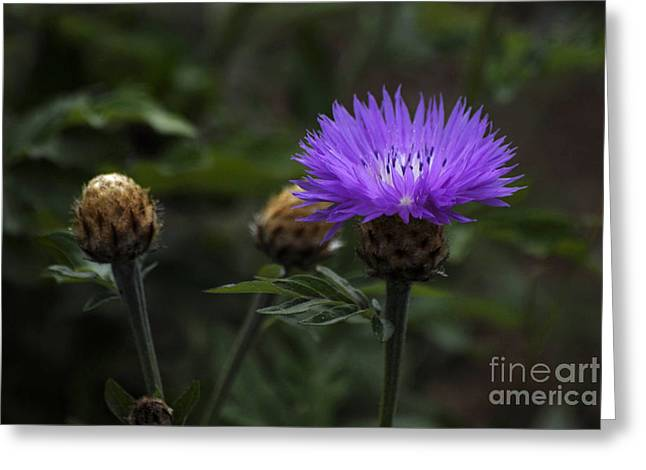 Flovers Greeting Cards - Fl5132 Greeting Card by Leo Symon