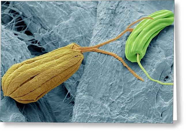 Flagellate Protozoa Greeting Card by Steve Gschmeissner