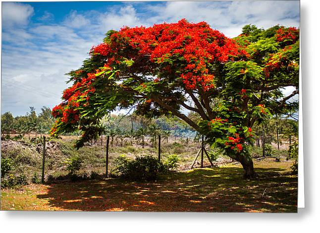 Regia Greeting Cards - Flamboyant in Glorious Bloom. Mauritius Greeting Card by Jenny Rainbow
