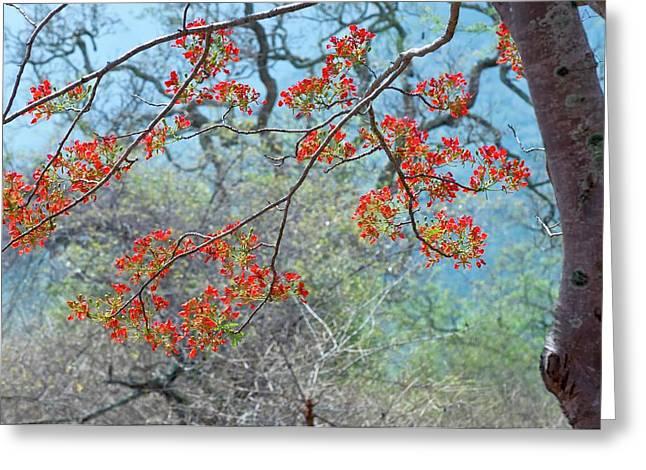 Flamboyant Tree (delonix Regia) Greeting Card by K Jayaram