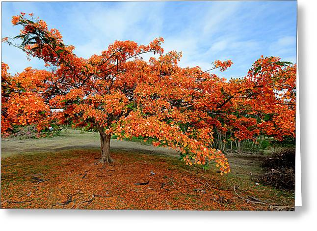 Flamboyant Tree - St. Lucia Greeting Card by Brendan Reals