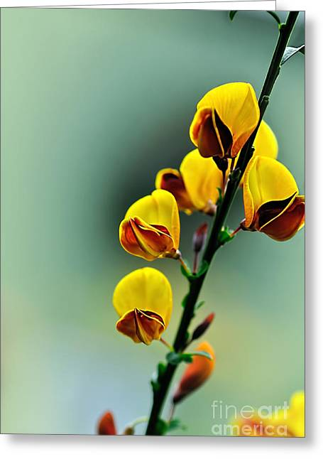 Flame Pea Greeting Card by Kaye Menner