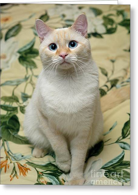 Eyes Greeting Cards - Flame Point Siamese Cat Greeting Card by Amy Cicconi