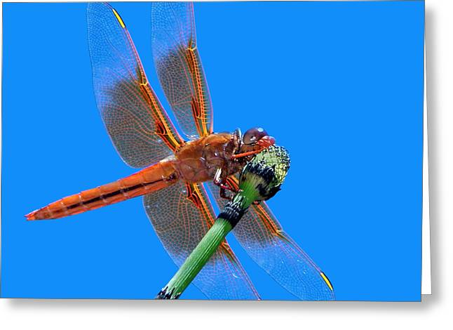Firecracker Greeting Cards - Flame Skimmer #2 - Dragonfly Greeting Card by Nikolyn McDonald