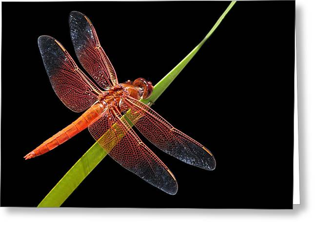 Firecracker Greeting Cards - Flame Skimmer - Dragonfly Greeting Card by Nikolyn McDonald