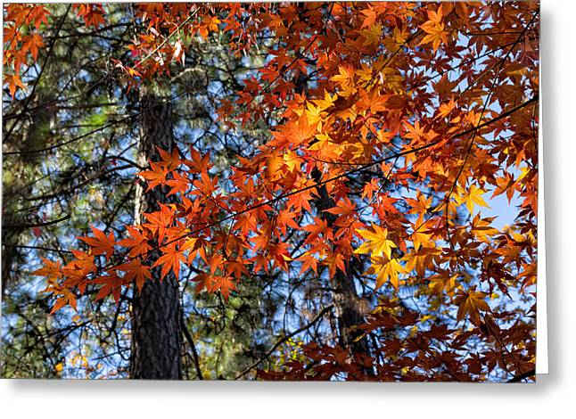 Turning Leaves Digital Art Greeting Cards - Flaming Maple Beneath the Pines Greeting Card by Kathleen Bishop