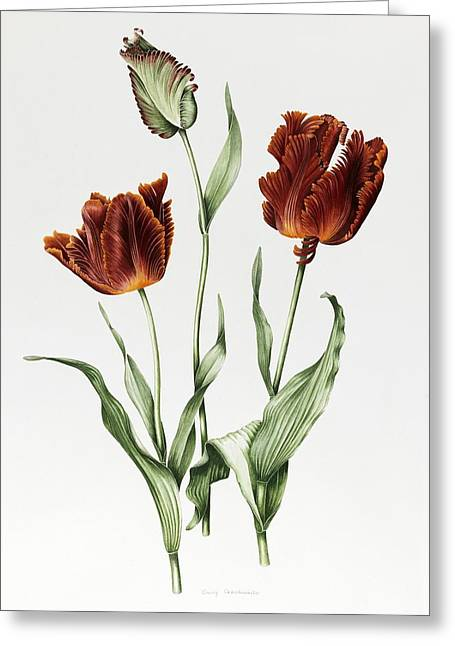 Flower Still Life Prints Greeting Cards - Flaming Parrot Tulip Greeting Card by Sally Crosthwaite