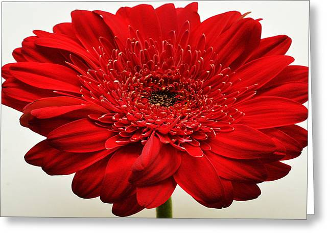 Sunburst Floral Still Life Greeting Cards - Flaming Red Zinnia Greeting Card by Sherry Allen