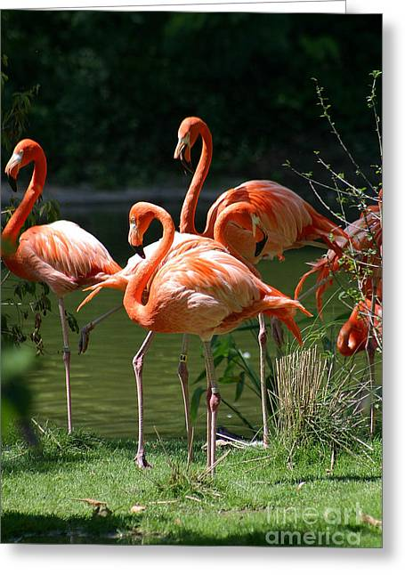 Water Fowl Greeting Cards - Flamingo-13 Greeting Card by Gary Gingrich Galleries