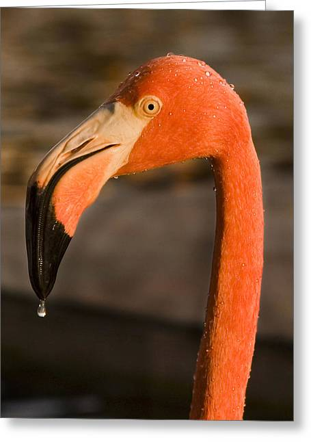 Aviary Greeting Cards - Flamingo Greeting Card by Adam Romanowicz