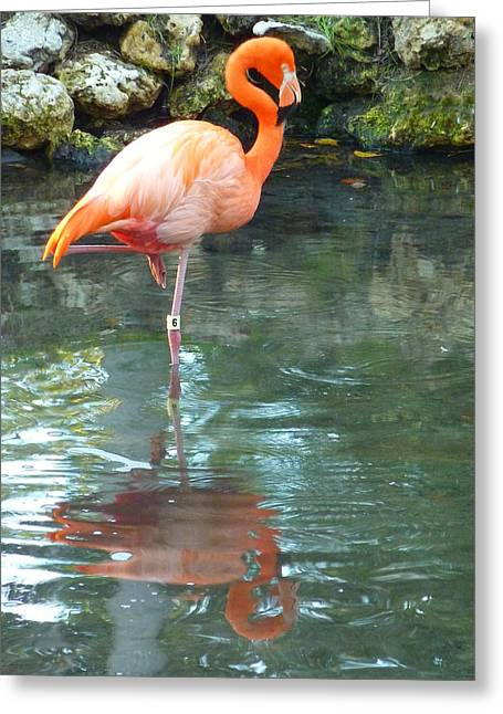 Organe Greeting Cards - Flamingo Greeting Card by Adrienne Franklin