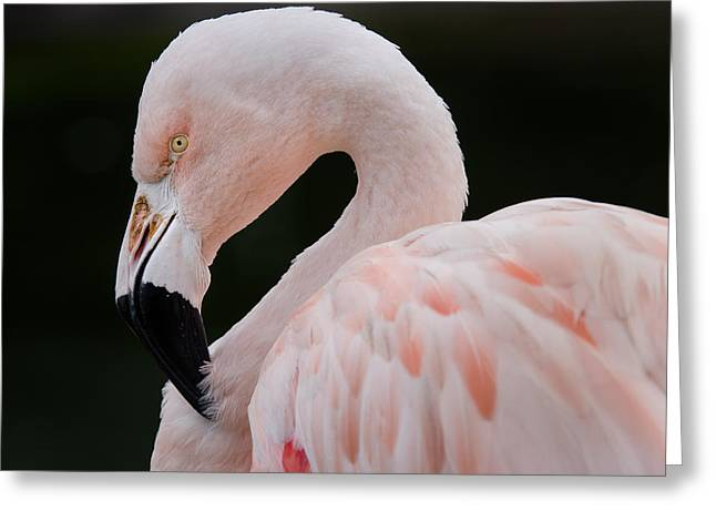 Beady Eyes Greeting Cards - Flamingo Cerebration Greeting Card by Greg Nyquist