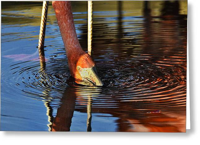 Dark Pink Greeting Cards - Flamingo Close up Greeting Card by Dave Dilli