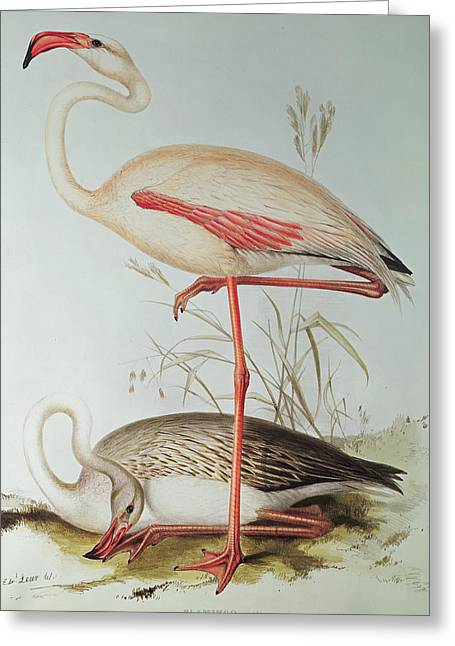 Flamingos Greeting Cards - Flamingo Greeting Card by Edward Lear