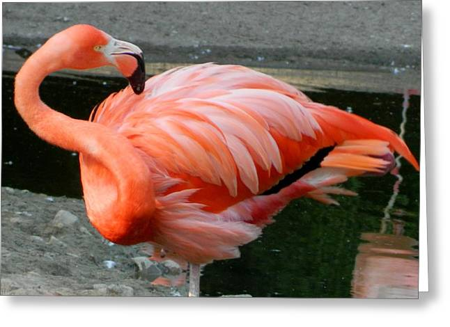 Fed Mixed Media Greeting Cards - Flamingo Greeting Card by Gunter  Hortz