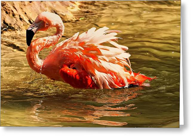 Bird Pictures Greeting Cards - Flamingo in a pond Greeting Card by Chris Flees