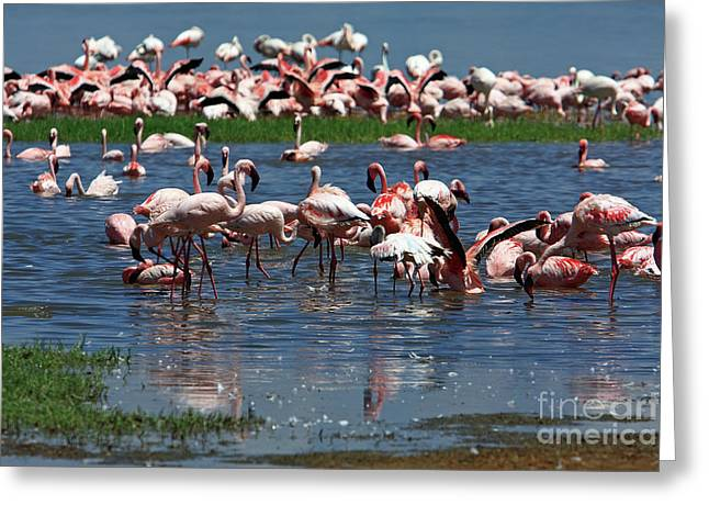 Greater Flamingos Greeting Cards - Flamingo - Lake Nakuru - Kenya Greeting Card by Aidan Moran