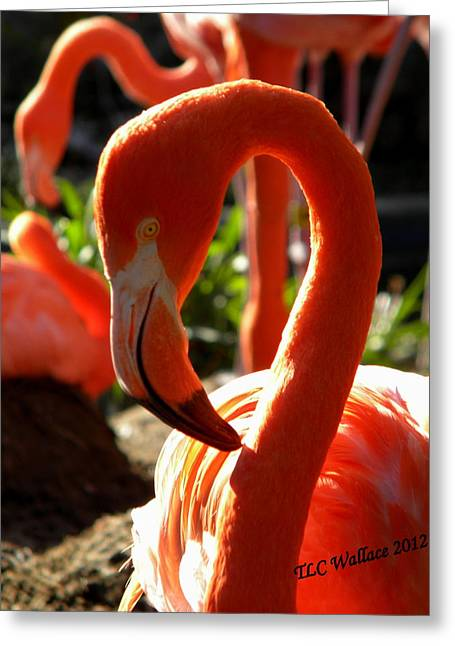 Tammy Wallace Greeting Cards - Flamingo Greeting Card by Tammy Wallace
