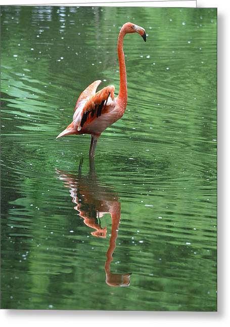 Jacksonville Greeting Cards - Flamingo with Open Wings Greeting Card by Richard Bryce and Family