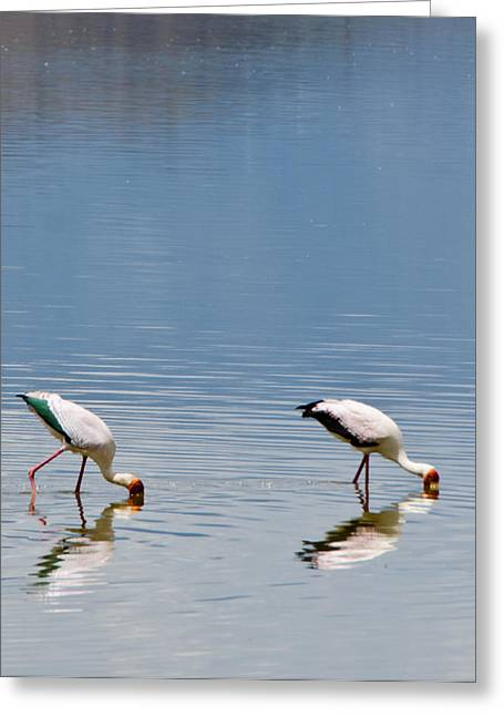 Greater Flamingos Greeting Cards - Flamingoes on Lake Nakuru Greeting Card by Mesha Zelkovich