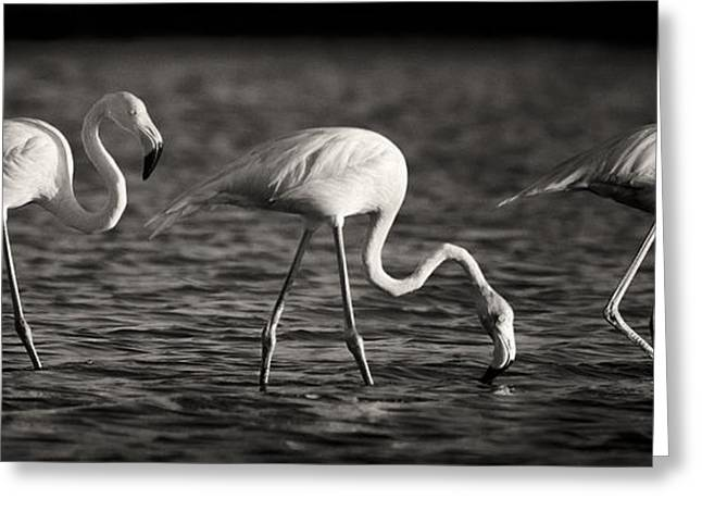 Flamingos Black And White Panoramic Greeting Card by Adam Romanowicz