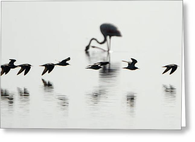 Groups Of Animals Greeting Cards - Flamingos In A Lake, Lake Manyara Greeting Card by Panoramic Images
