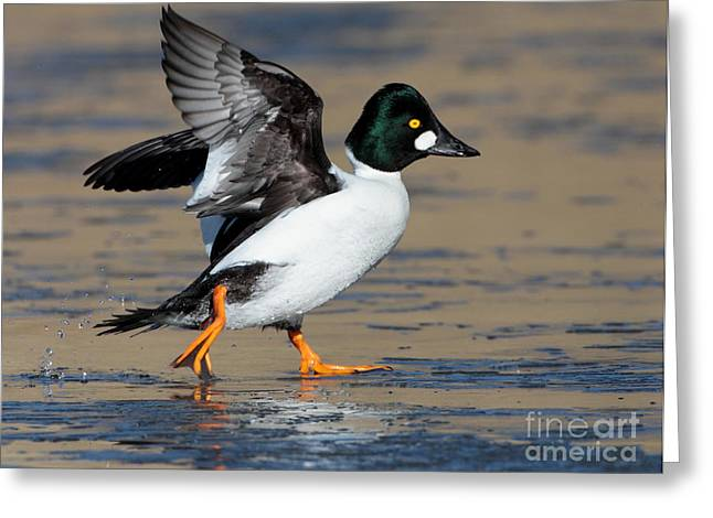 Ruth Jolly Greeting Cards - Flap of a Goldeneye Greeting Card by Ruth Jolly