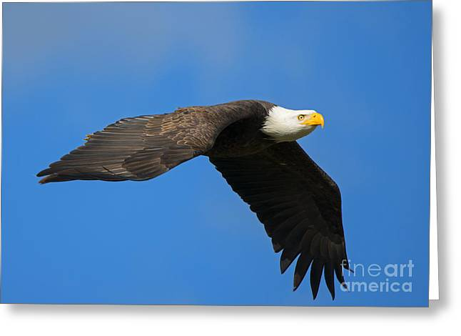American Bald Eagle Greeting Cards - Flaps Down Greeting Card by Mike Dawson