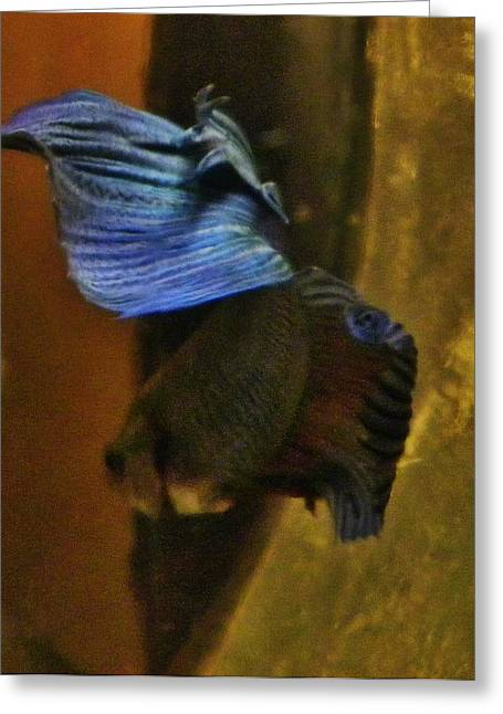 Betta Greeting Cards - Flash of Blue Greeting Card by CL Redding