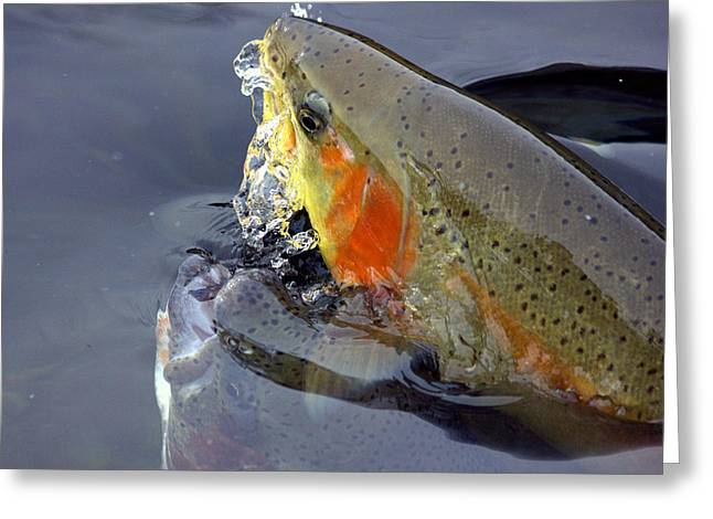 Rainbow Trout Greeting Cards - Flash of Color Greeting Card by Glenn Curtis